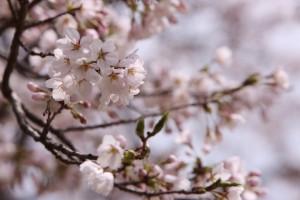 2015月明洞の桜1