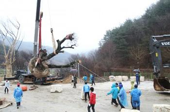 木の移植作業 ケヤキ3