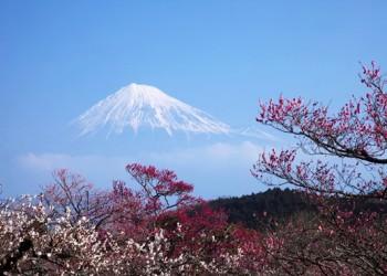 Plum Blossom Tree and Mount Fuji